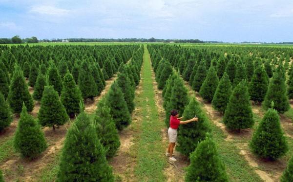 圣诞树农场