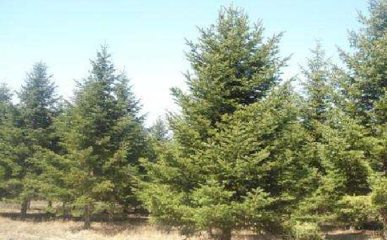 云杉圣诞树