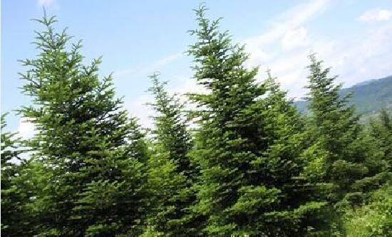 冷杉圣诞树