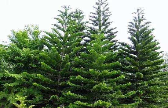 南洋杉圣诞树